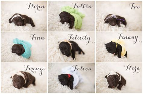 puppies names ginkgo de f litter now their kennel names american barbet