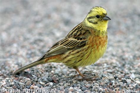 yellowhammer pictures yellowhammer images naturephoto