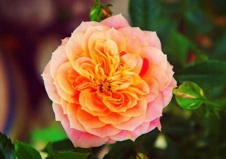 mandarin rose flowers nature background wallpapers