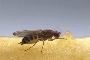 Fruit Trees Wisconsin - fruit fly control get rid of fruit flies orkin com