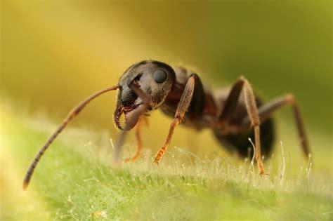 black ants black ant