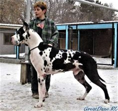i want a black and white great dane with pointed ears