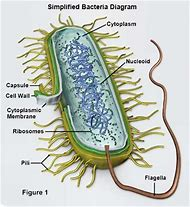 Best 25 ideas about bacteria diagram find what youll love bacteria diagram ccuart Choice Image