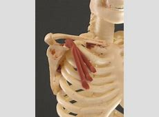 Pectoralis Minor | Feets of Clay Frontalis Muscle Origin Insertion Action
