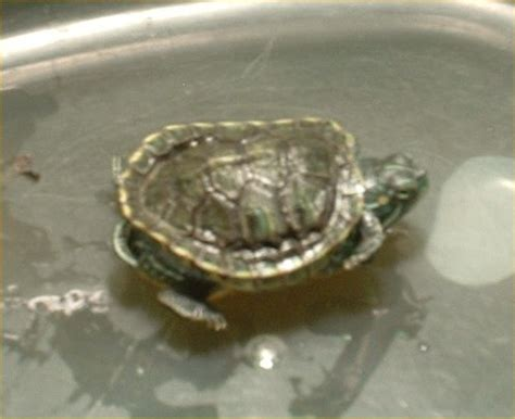 Turtle Shedding by 10 Res Turtle Shell Shedding How Can I Prevent