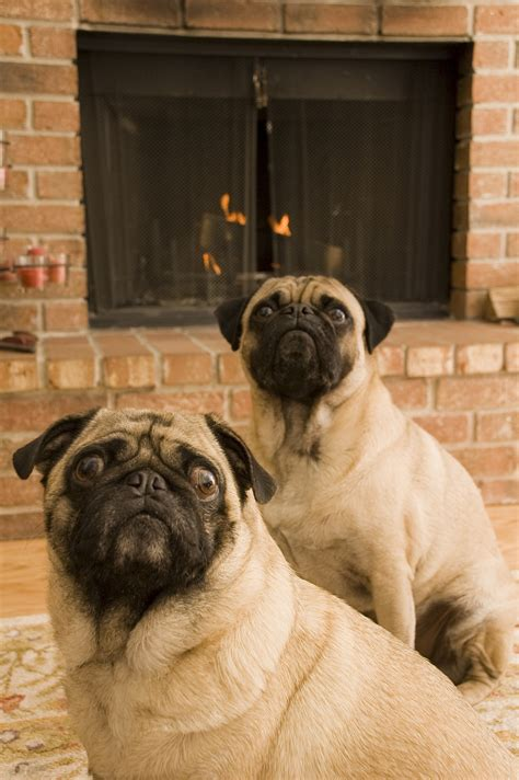 how does a pug stay in heat 11 winter weather tips as told by adorable dogs blogs cdc