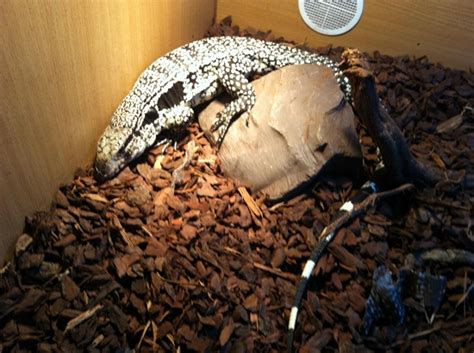 blue tegu facts  pictures