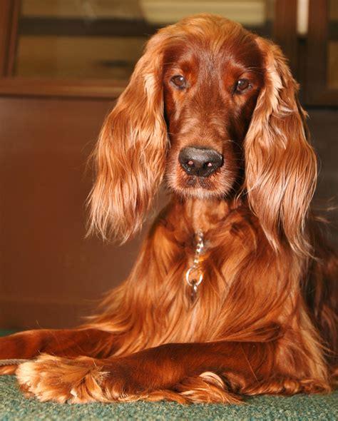 dog breeds similar to red setter irish setter ginger dog monica s dogs pinterest