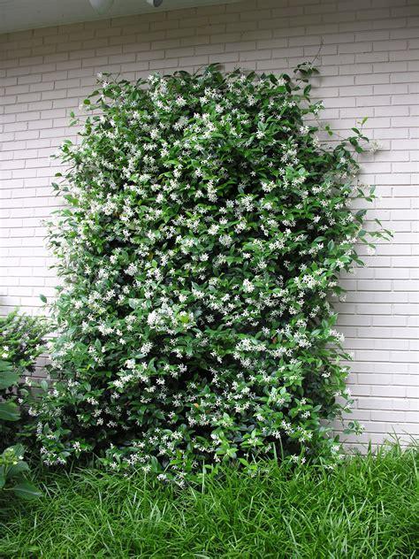 evergreen climbing plants for trellis confederate growing on a trellis evergreen