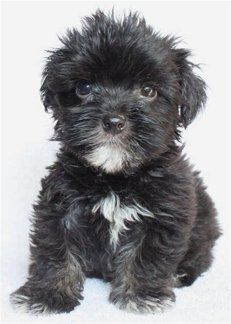 black havanese havanese teddy bears new black and white litter misc teddy bears