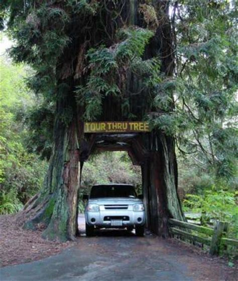 Chandelier Tree In The Drive Thru Tree Park Drive Through Tree Near Klamath California In The Redwood
