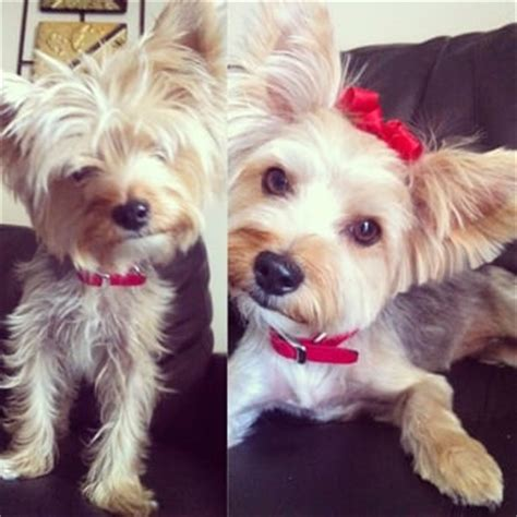 yorkie before and after grooming best in show grooming 116 photos 127 reviews pet groomers 8450 w