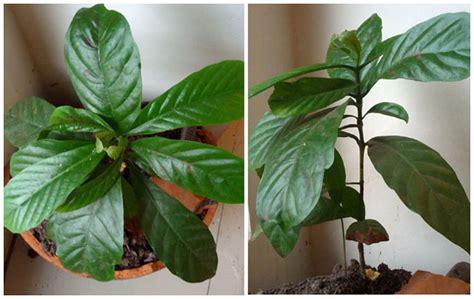 Bibit Kopi perbanyakan pohon kopi dengan setek