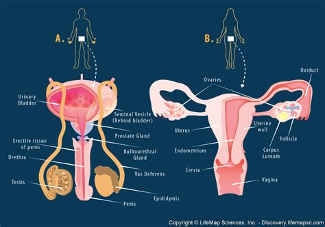 diagram of the reproductive system reproductive system structure infographic lifemap discovery