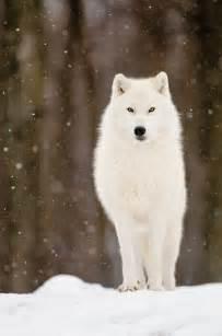 Husky Work Light 25 Best Ideas About Wolves On Pinterest Wolf Howling