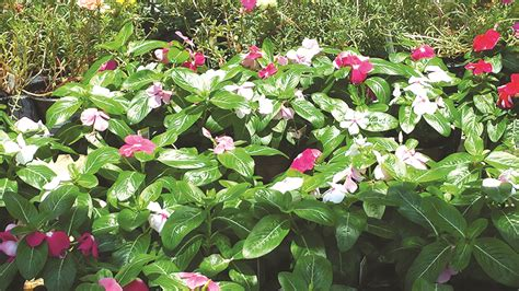 not too late for summer flowers bossier press tribune
