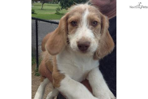 beagle poodle mix puppies for sale beagle puppy for sale near southern maryland maryland cedfbfaf c961