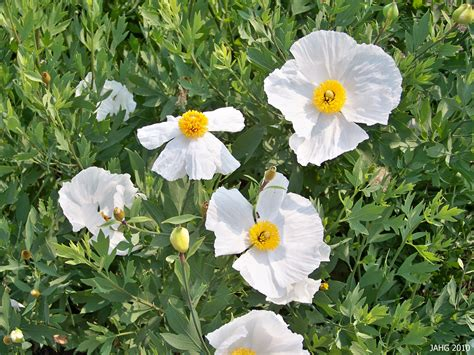 romneya coulteri name that plant