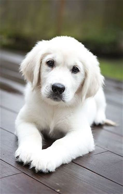golden retriever puppies adopt best 25 golden retriever breed ideas on adopt