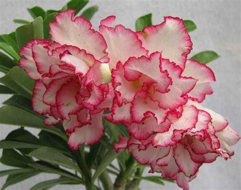Bibit Adenium Bunga Putih kumpulan nama bunga lengkap dari a z beserta gambar dan penjelasannya bibit