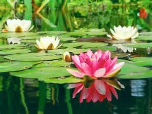 Lotus Flower Characteristics All About Aquatic Plants Types Of Water Plants Petal Talk