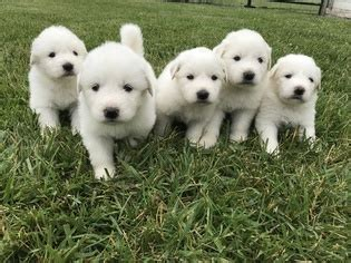great pyrenees puppies ohio view ad great pyrenees puppy for sale ohio archbold usa