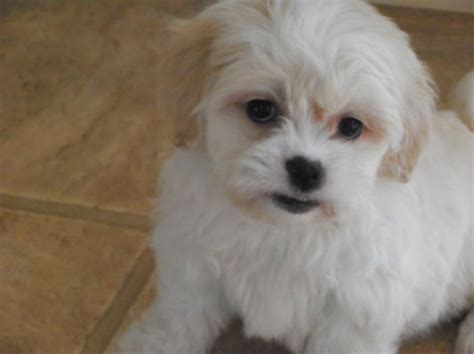 shichon puppies for sale in michigan 25 best ideas about shichon puppies for sale on shih tzu for sale