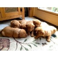 golden retriever breeders in central pa labrador retriever breeders in pennsylvania