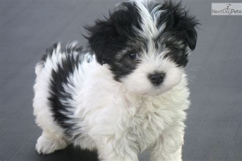 havanese puppies buffalo ny ch ln akc black white havanese for sale in buffalo