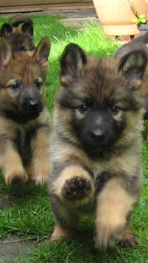 fluffy german shepherd puppy german shepherd puppies dogs german shepherds