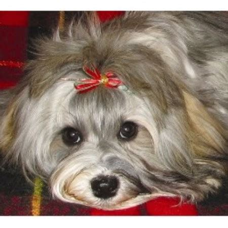 havanese rescue wisconsin janizona havanese breeder in arizona