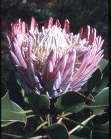 fiori esotici fiori esotici natalizi quot la protea quot