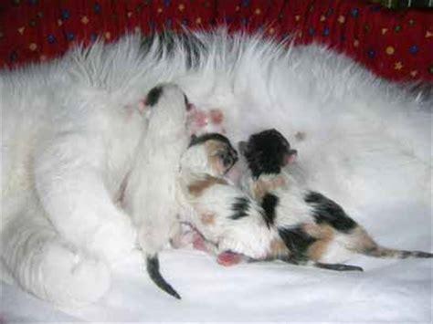 alimentazione gatto persiano l alimentazione gatto gattipersiani it gatti persiani