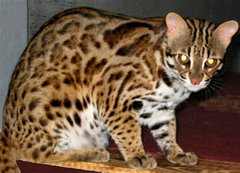 leopard house cat lynx house cat mix www pixshark com images galleries with a bite