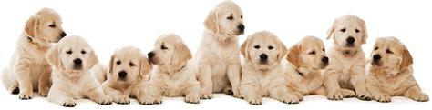how many sets of do puppies get retriever
