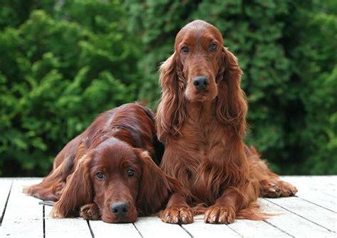 cani consigliati per appartamento setter irlandese rosso scheda razza su cani it