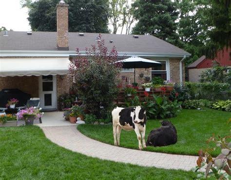 backyard dairy cow backyard dairy cow cookistry niwot okays backyard cows