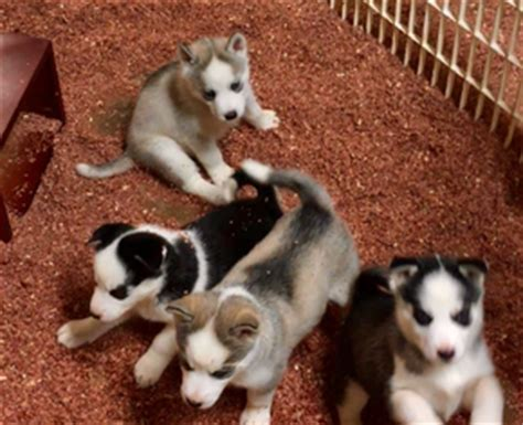husky puppies for sale in orlando siberian husky puppies and dogs for sale in usa