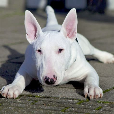 biography of pitbull in spanish bull terrier breed information and facts