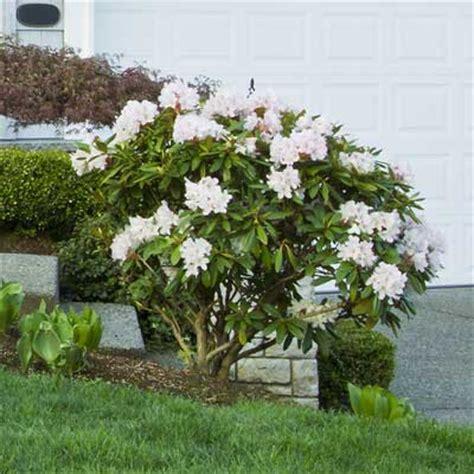 rhododendron bush hedge www pixshark com images