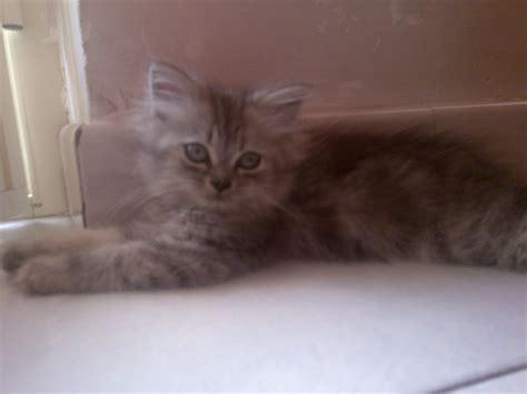 gattina persiana gattina persiana chinchilla point petpassion