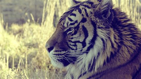 hd wallpaper for android tiger 1920x1080 tiger wallpaper full hd 65 images