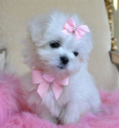 yorkie white 25 best ideas about yorkie puppies on teacup yorkie puppies