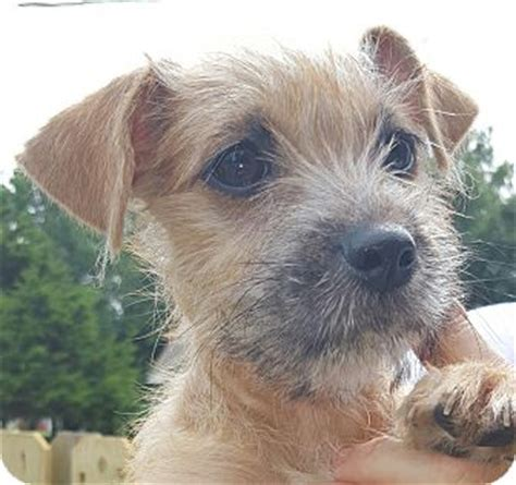 cairn shih tzu mix cairn terrier shih tzu mix puppy for adoption in trenton new jersey trippe
