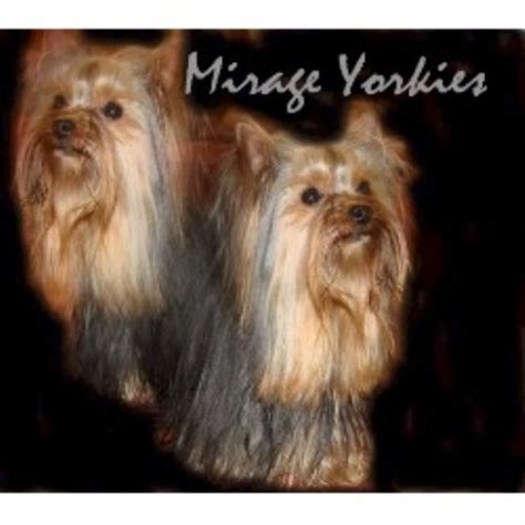 yorkie puppies arizona yorkie breeders in tucson az breeds picture
