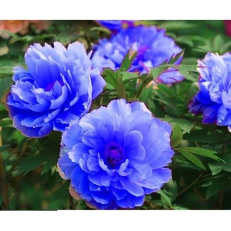 60 Biji Benih Wortel Chantenay Cored bibit bunga peony blue