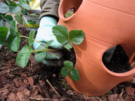 How To Plant Strawberries In A Strawberry Planter by How To Plant Strawberries How Tos Diy