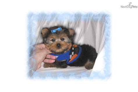 hair cut for maltese around the mouth yorkies with thick hair yorkshire terrier yorkie puppy for