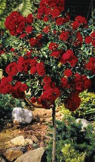 Miniature Shrubs That Flower - knockout rose tree for sale online the tree center