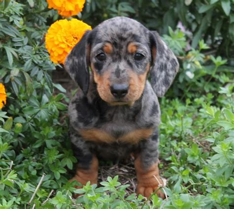 mini dachshund puppies for sale in pa mini dachshunds craigspets